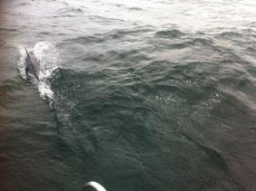 Die ersten Delphine begleiten die Luv in der Biskaya